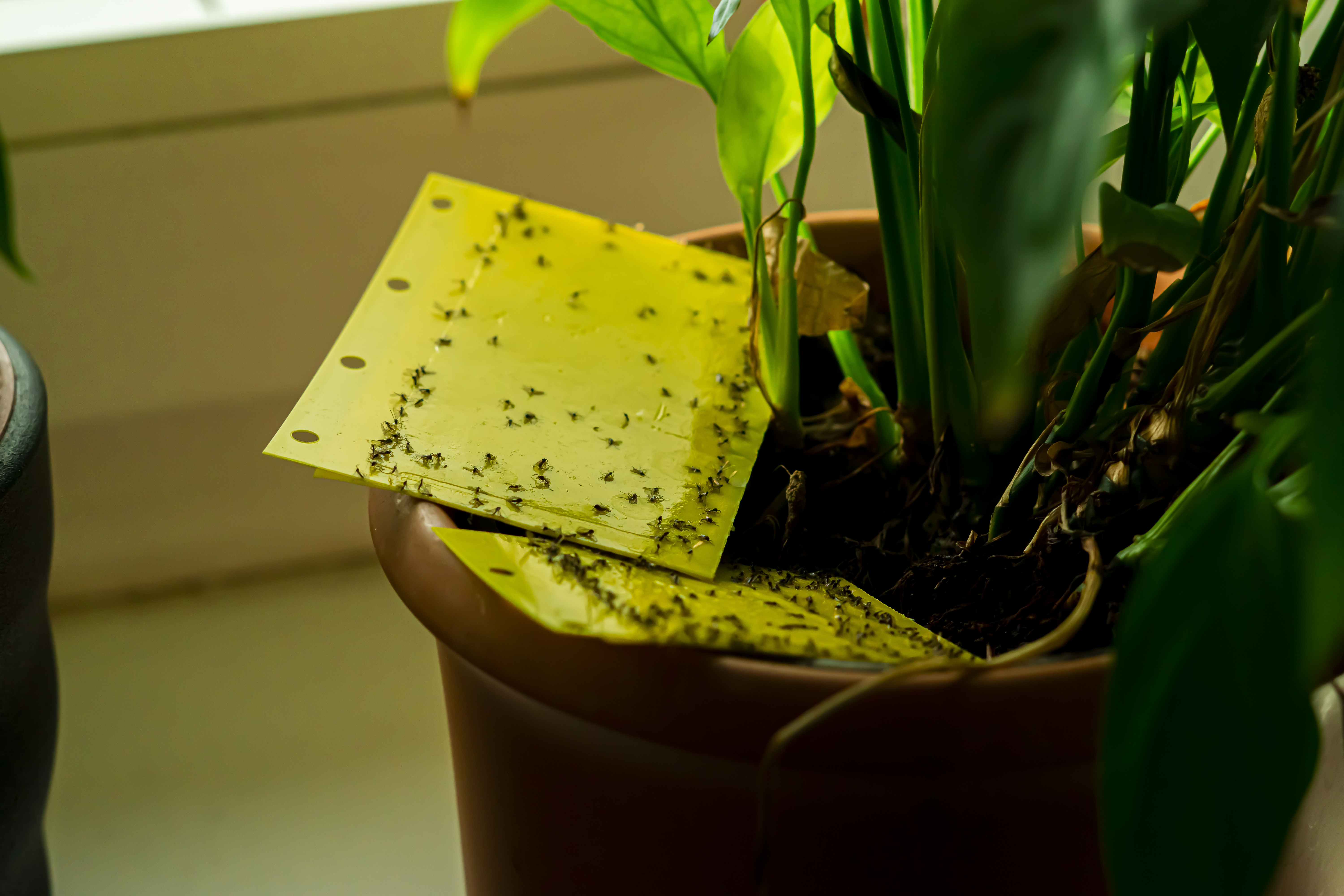 Sticky yellow gnat traps