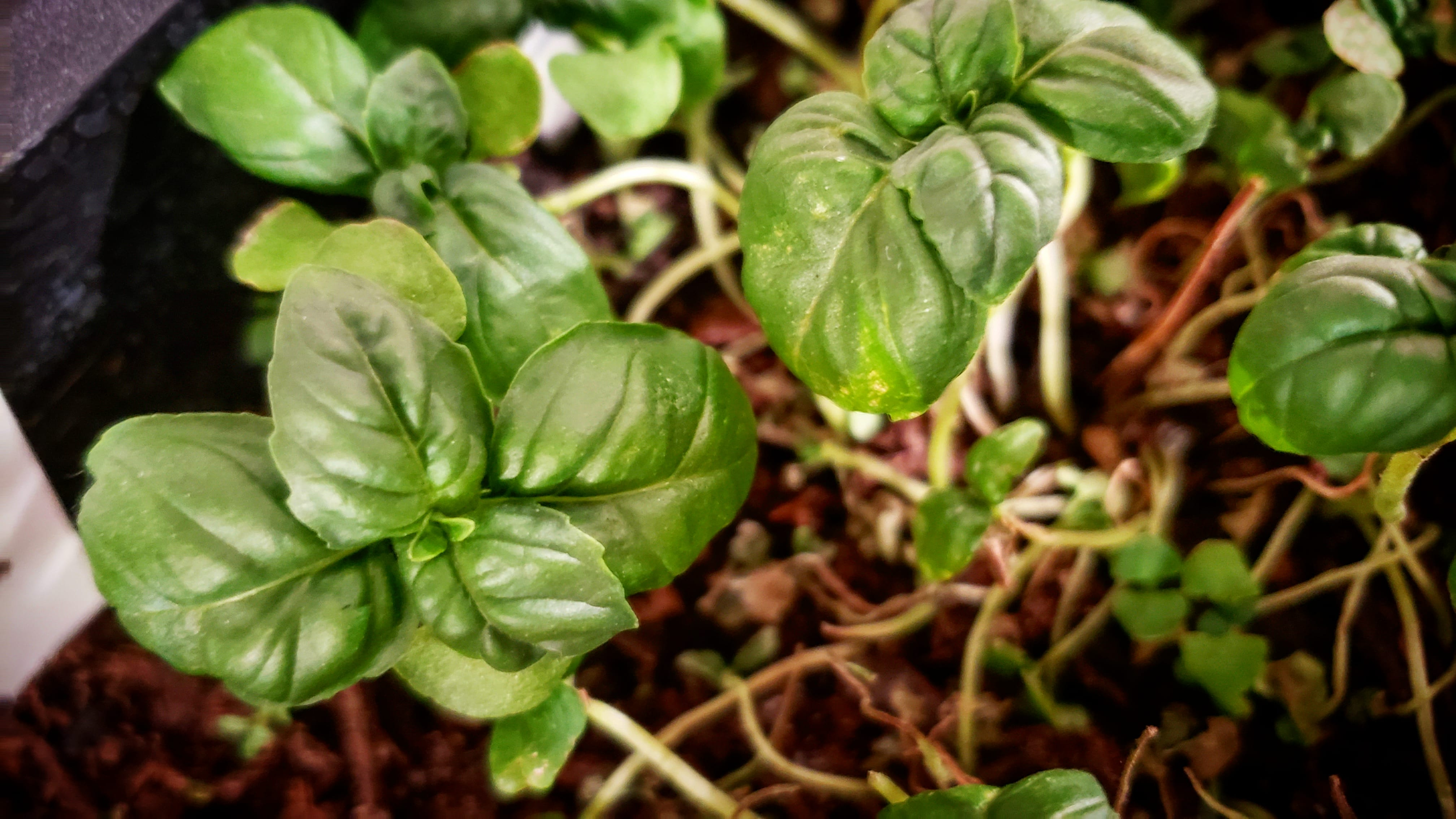 Some surviving basil